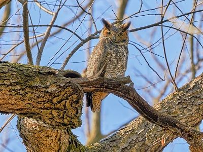 See 'Great horned owl (photo 1)'