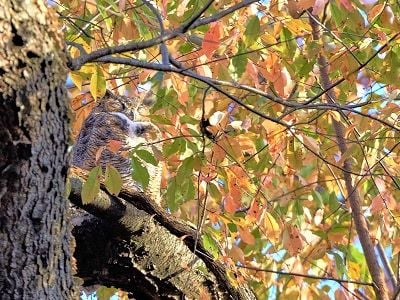See 'Great horned owl (photo 2)'