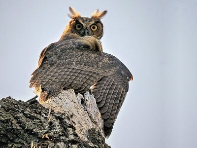 See 'Great horned owl (photo 3)'