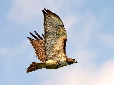 See 'Red tail hawk (photo 1)'