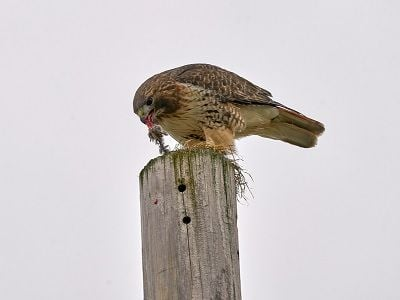 See 'Red-tailed hawk (photo 3)'