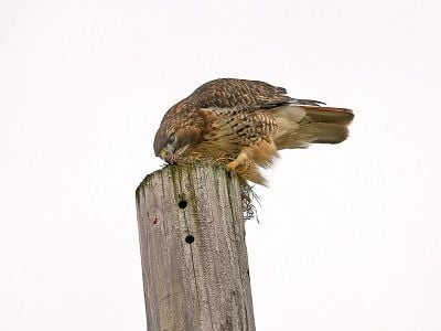 See Red-tailed hawk (photo 4)'