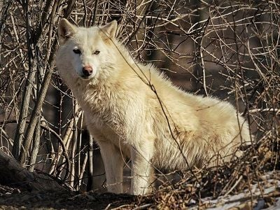 See 'Wolves'