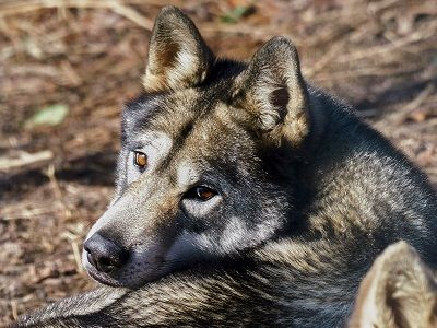 See 'Wolf (photo 1)'