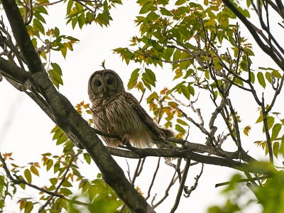 See 'Barred owl (photo 4)'