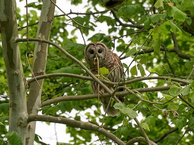 See 'Barred owl (photo 6)'