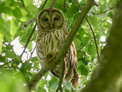 See 'Barred owl (photo 7)'