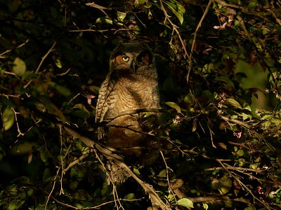 See 'Great horned owl (photo 6)'