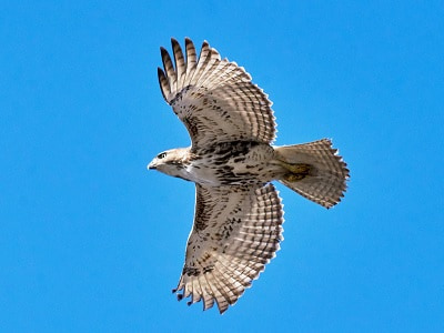 See 'Red-shouldered hawk (photo 1)'