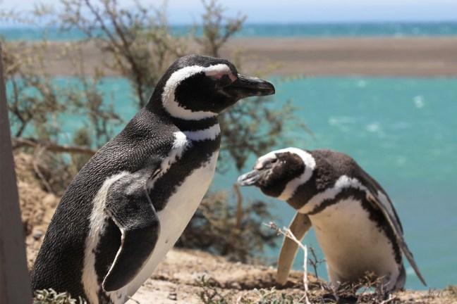 Magellanic Peguins, Puerto Madryn, Argentina