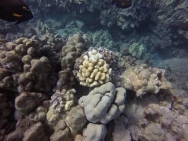 Cauliflower coral bleaching at Mauka Kea Beach, Hawaii 5.15.2015