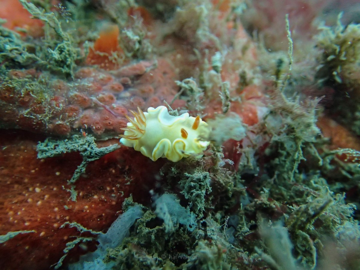 yellow margin nudibranch
