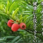 紅豆杉のイメージ画像