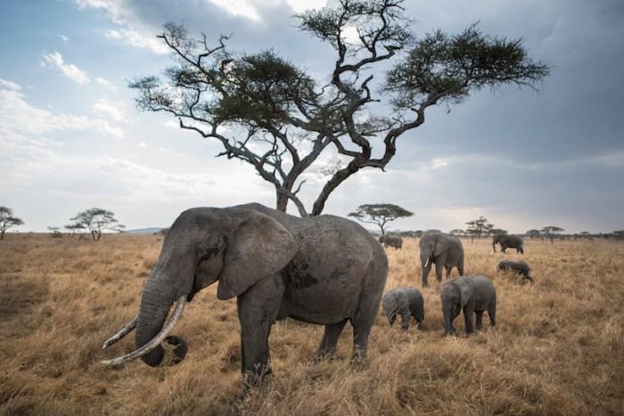 Elefantes Sáfari Serengeti