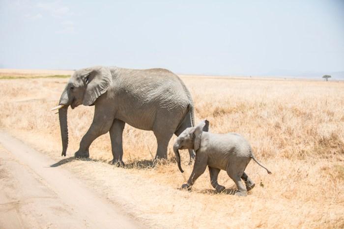 Elefantes: Safári no Serengeti