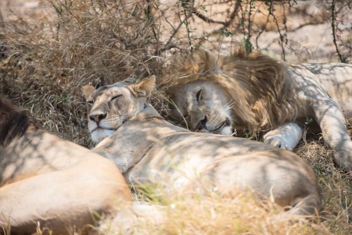 Leões no Serengeti