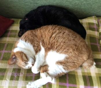 コロナ禍での家猫生活