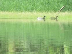 Cordell Lk HC ducks swim