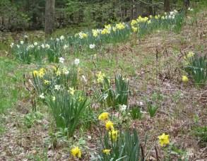 home daffodils