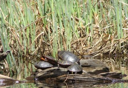 Knapp turtle 5
