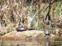 Knapp turtles 3
