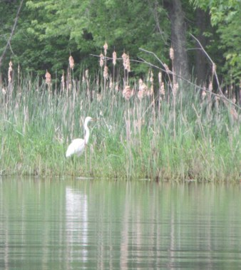 WR Common Egret in cattails
