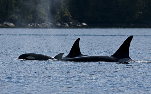 Orcas going by