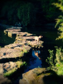 Dog on Stepping Stones