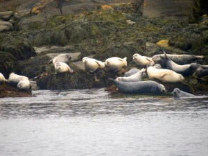 Seals on island near Kennebunkport