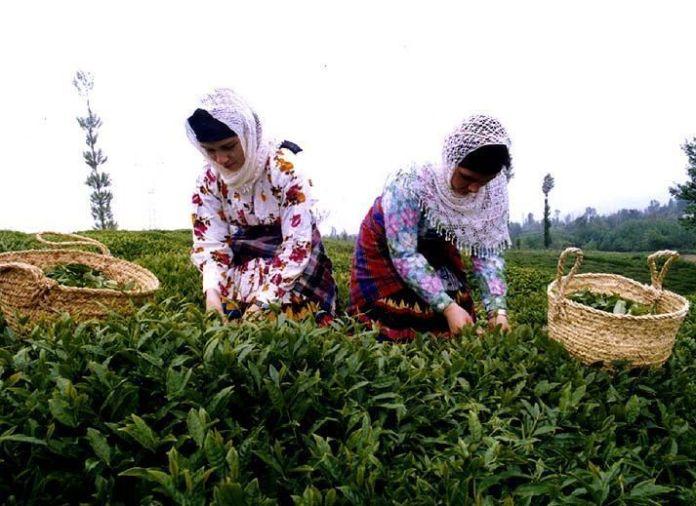 gilan-tea-farm