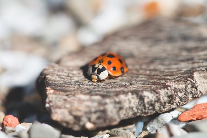 lady beetle, ladybird,