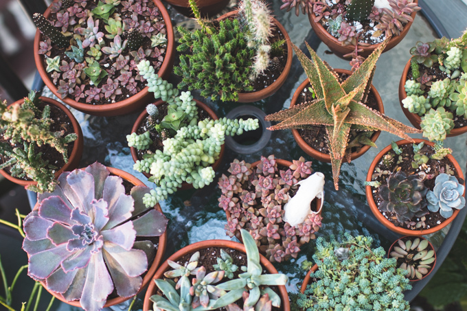 colorful succulents, propagation