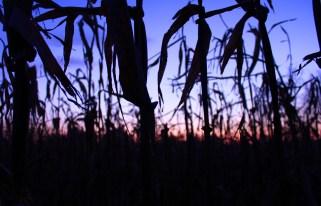 Corn in Ridgetown