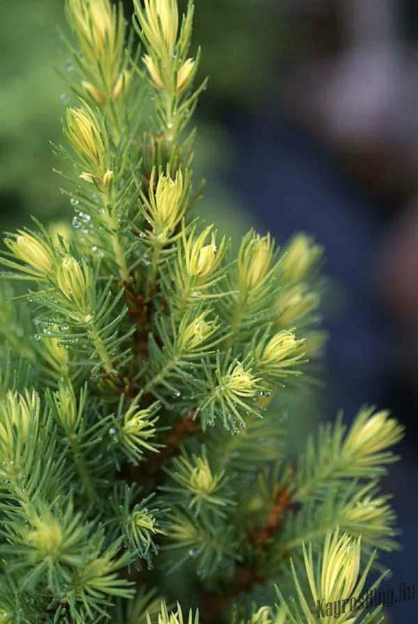 Хвойные растения для сада: какие выбрать, где и как сажать?