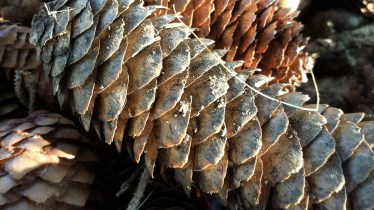 Our yard is littered with pine cones.