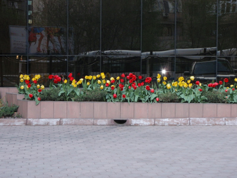 Tough tulips