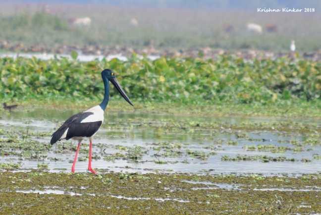 Kaziranga Birding, Kaziranga Birdwatching Tour, Birds Kaziranga, Kaziranga National Park