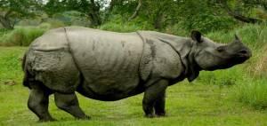 Kaziranga Assam Rhino, One Horned Rhino Assam, Kaziranga Jungle Safari