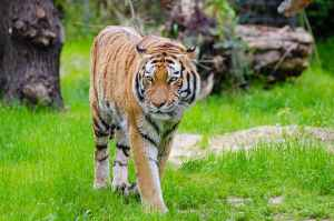 Kaziranga Tigers, Kaziranga Rhinos, Kaziranga Hotels, Kaziranga National Park, Kaziranga