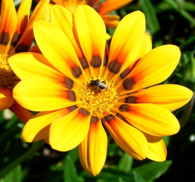 daisy yellow bug