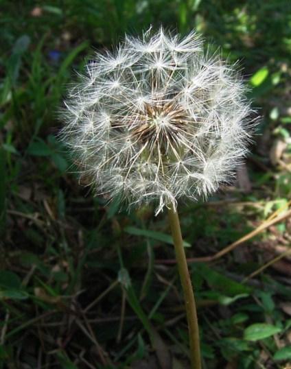 make a wish dandelion