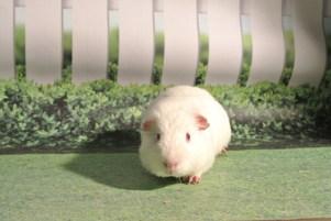 Albie the Guinea Pig