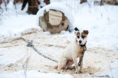 A pit bull is seen chained on the homeowner's property during a rescue conducted by The Humane Society of the United States in Kalamazoo, Mich. on Wednesday, Feb. 17, 2016.