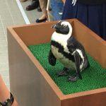 仙台うみの杜水族館、おさわりペンギン #s_uminomori http://t.co/9ZpWTiwkE9