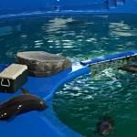 仙台うみの杜水族館、プールサイドに上がり過ぎた仲間を見て、自分も上がってしまうイルカ。どちらも直後に水中へ。 #s_uminomori http://t.co/gJaDzYZx7q