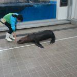 仙台うみの杜水族館、フレンドリータイムのオタリアさん #s_uminomori https://t.co/5Bcyx5ArxK