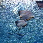 仙台うみの杜水族館、大水槽 #s_uminomori https://t.co/kItsxrVqBm