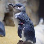 仙台うみの杜水族館、フェアリーペンギン #s_uminomori https://t.co/utFilZxowl