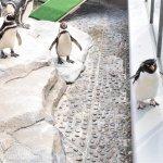 仙台うみの杜水族館、降りられなくなったんじゃない俺?みたいなペンギン(飼育員に下ろされてました #s_uminomori https://t.co/5lcQXi1KDl