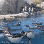 仙台うみの杜水族館、ペンギンさん #s_uminomori https://t.co/LSEtGsmPyc